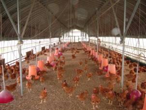 飛び跳ね遊ぶスペースたっぷりの鶏舎内。足の太さに加えて、胸や手羽が充実します。